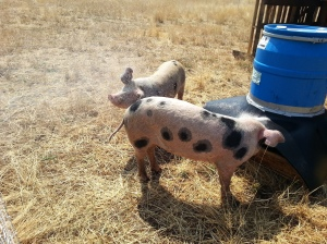 New and Improved Hog Feeder